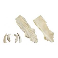 Wild boar jaw set (medium)