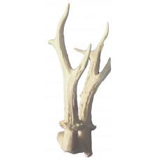Eurropean roe deer antlers