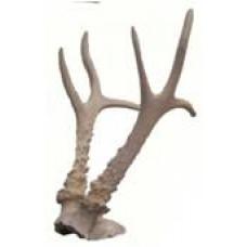 Siberian roe deer antlers