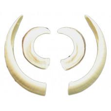Wild boar tusks (for medallion)